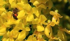 Biene bei der Arbeit. (Bild: Alois Georg Aschwanden)