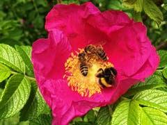 Ganz wild auf wilde Rosen...(Bild: Toni Sieber)