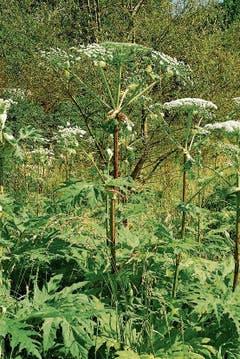 Der Riesenbärenklau (Heracleum mantegazzianum) wurde im Jahr 1980 in der Schweiz «eingebürgert». (Bild: Wikimedia)
