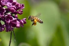 Körbchensammler Bienen ernähren sich von zuckerhaltigem Nektar und dem eiweißreichen gelben Blütenstaub, dem Pollen. (Bild: Luciano Pau)