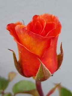 Die Rose in ihrer Symmetrie. (Bild: Reto Schlegel)