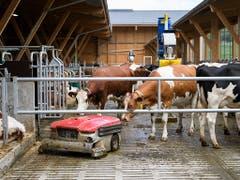 Was ist das denn? Neugierig beäugen Kühe den Reinigungsroboter im neuen Stall am Inforama Rütti in Zollikofen. (Bild: KEYSTONE/ANTHONY ANEX)