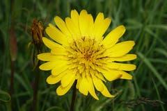 Perfekte Blüte des Wiesen-Bocksbart, auch genannt: Habermark, Morgenstern oder Milchblume. (Bild: Christian Müller)