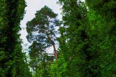 Die Giganten im fast undurchdringlichen Auenwald beim Eselschwanz. (Bild: Franz Häusler)