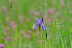 Schwertlilie (Iris) in der Rietwiese beim Eselschwanz. (Bild: Franz Häusler)