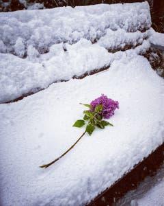 Rorschacherberg: Abgebrochener Flieder auf Bank mit Schnee im Mai. (Bild: Julia Buob)