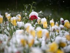 Nicht viel «holder Mai»: Schnee auf einem Tulpenbeet in Thun. (Bild: KEYSTONE/PETER SCHNEIDER)