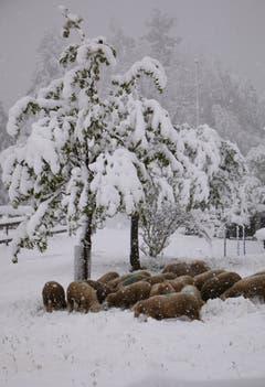 In Heiden: Die Schafe suchen das Futter unter der Schneedecke. (Bild: Fredy Zünd)