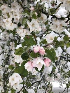 Carsten Dieckmann in Bühler eine Apfelblüte im Schnee.