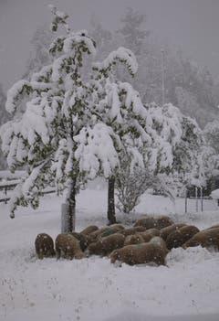 Fredy Zünd fotografierte eine Schafherde auf der Schneewiese in Heiden.