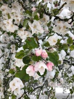 Apfelblüten im Schnee in Bühler. (Bild: Carsten Dieckmann)