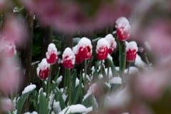 Fotogene Tulpen - Gartenidylle mit Schnee am Samstagabend in St. Gallen. (Bild: Franz Häusler)