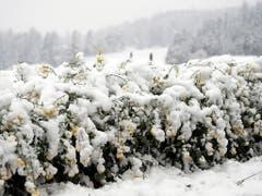 Die Schneelast drückt auf die Pflanzen: Ein Rapsfeld in Noflen BE. (KEYSTONE/Peter Schneider) (Bild: KEYSTONE/PETER SCHNEIDER)