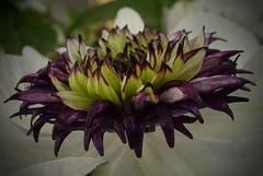 Blütenpracht (Bild Stephan Lendi)