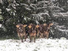 Ob die Kühe Freude an Frau Holle haben? (Bild: Nicolas Giovanettoni)