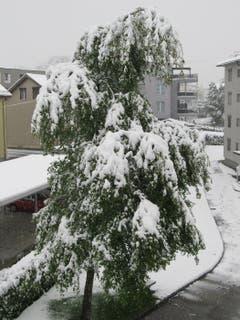 Ein schwer beladene Baum in Gossau am 5.5.2019. Bild: Claudine Germann)