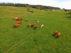 Glückliche Mutterkühe auf der Weide. (Bild: Ken Hofmann)