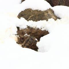 Murmeltier im Schnee (Bild: Stella Catenazzi)