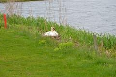 Auf dem Gamser Golfplatz brüten mindestens zwei Schwanenpaare. (Bild: Alexandra Gächter)