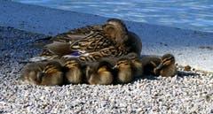 Entenfamilie am Mittagsschlaf. (Bild: Walter Buholzer (Luzern, 30. Mai 2019))