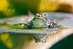 Der Frosch in seinem Herrschaftsbereich, im Seleger Moor in Rifferswil. (Bild: Mirjam Dentler)