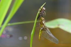 Eine Libelle saugt innert mehreren Stunden einen Käfer bis auf die Haut aus. (Bild: Rico Breitenmoser)