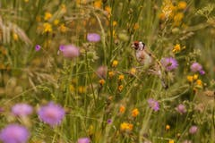 Ein Stieglitz, versteckt im hohen Gras in St. Georgen. (Bild: Franziska Hörler)