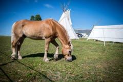 Ein Pferd grast neben den Zelten. (Bild: Reto Martin)