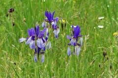 Blaue Iris im Gihrenmoos. (Bild: Wolfgang Ponader)