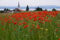 Rot blüht der Mohn über Altnau am Bodensee. (Bild: Katrin Lang)