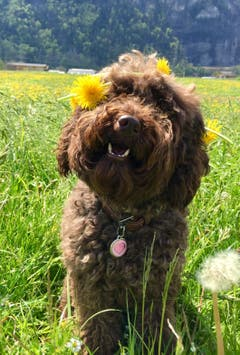 Unsere Goldendoodle-Hündin Emma als lächelndes Blumenmädchen. (Bild: Michaela Marro, Attinghausen, 30. April 2019)