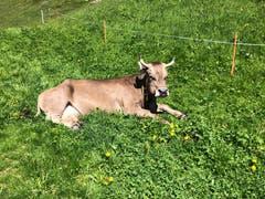 Endlich Sommer auch für diese Kuh. (Bild: Claire Calcagni-Müller, Arnisee, 13. Juni 2019)