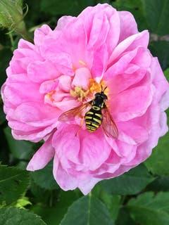 Die Duftrose zieht Insekten magisch an. (Bild: Toni Sieber)