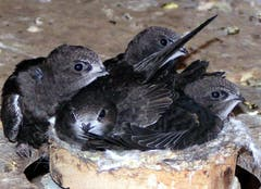 Fast flügge Mauersegler im und um ihr Nest in einem Dachstock. Die Niststandorte der Segler sind geschützt. Wer die Tiere beim Nistgeschäft stört, macht sich strafbar. Bauarbeiten an Häusern müssen daher auf die Brutzeit der Segler abgestimmt werden. (Bild: KEY - 1. Juli 2005)