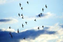 Der Mauersegler wurde vom Schweizer Vogelschutz 2005 zum Vogel des Jahres gekürt. (Bild: Schweizer Vogelschutz/KEY - 29. Juni 2005)