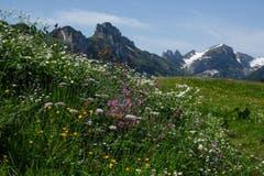 Der Alpsommer steht in voller und prächtiger Blüte. Hier auf Alp Soll bei Brülisau. (Bild: Franz Häusler)