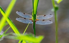 Libelle beim Biotop Ebnet Herisau. (Bild: Luciano Pau)