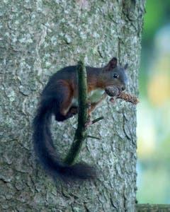 Eichhörnchen mit Tannenzapfen. (Bild: Hans Aeschlimann)