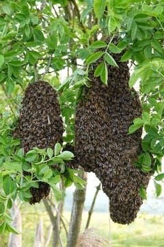 Bienenschwarm in den frühen Morgenstunden. (Bild: Richard Bührer)
