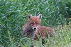 Was guckst du? Den Fuchs gesehen in Wigoltingen. (Bild: Richard Bührer)
