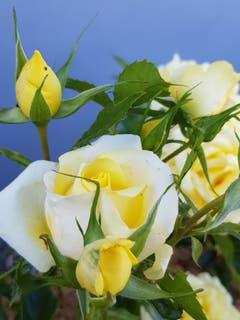 Bald ist die Rosenwoche in Bischofszell. (Bild: Reto Schlegel)