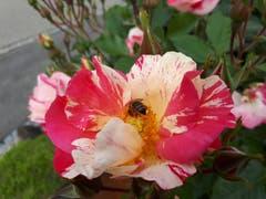 Es krabbelt auf dem Rosenbaum. (Bild: Ernst Hug)