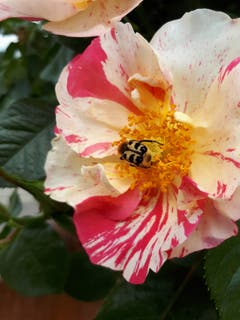 Der Gebänderte Pinselkäfer ist ein sehr seltener Käfer im Mittelland. Angetroffen in Niederuzwil. (Bild: Ernst Hug)
