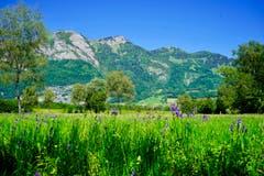 Schwertlilien im Bangser Ried, im Hintergrund der Hoher Kasten. (Bild: Ruedi Dörig)