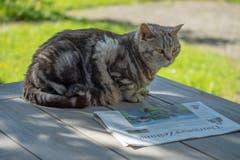 Kater Basil beim Lesen der Thurgauer Zeitung. (Bild: Felix Walker)