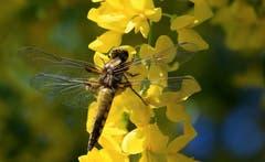 Eine frisch geschlüpfte Libelle bei Eschenz. (Bild: Alois Georg Aschwanden)