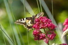 Ein Schwalbenschwanz beim Nektarmahl. (Bild: Luciano Pau)