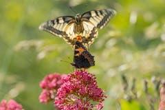 Schmetterlings-Treffen. (Bild: Luciano Pau)