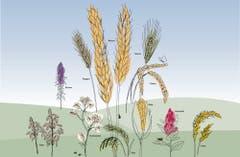 Was genau ist Bulgur? Und in welchem Schnaps steckt Roggen? Ein Spaziergang durchs Getreidefeld – nicht nur für Körnlipicker | St.Galler Tagblatt