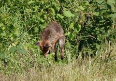 Fuchs beim Sprung auf die Maus, gesehen in Bürglen. (Bild: Richard Bührer)